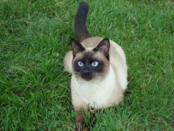 К сиамским кошкам я отношусь не очень хорошо,т.к. они-переделка тайских(старосиамских),причем совсем неудачная...